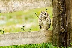Coruja do Nabal | Olhar sereno... (Nuno Silva | designlogico) Tags: portugal birds photography aves portuguese asioflammeus nunosilva pontadaerva corujadonabal flickraward designlogicopt