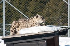 Snowleaopard (Mange J) Tags: park winter snow cold cat big pentax sweden bigcat sverige dalarna snowleopard unciauncia k7 orsa bjrnpark grnklitt pentaxk7 magnusjakobsson