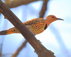 The Northern Flicker (pmarella) Tags: bird pmarella jerseycitynj backyardnature riverviewpkproductions thenorthernflicker