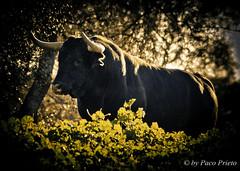 Made in Spain (fjprieto71) Tags: espaa nature animals digital canon eos spain negro bull andalucia cadiz f71 cuernos toro fiestanacional madeinspain dehesa 2013 400d elgrullo torodelidia pacoprieto fjprieto71