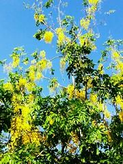 099 Happy Vishu (vishnur_) Tags: harvest kerala vishu baisakhi bihu medam kanikonna uploaded:by=flickrmobile flickriosapp:filter=toucan toucanfilter busstop98309carissapk