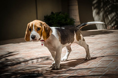 Ya te vi (luisgarcias) Tags: toby dog beagle familia mascota