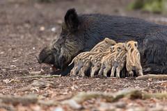 Family bliss in the forests around my hometown (Thomas Frejek) Tags: mammals mammalia wildschwein wildpig wildboar melle susscrofa sugetiere 2013 diedrichsburg