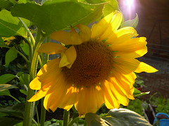 (lucidcats) Tags: light shadow brown sunlight plant flower green beautiful leaves yellow vancouver washington leaf shadows state blossom sunflower bloom vancouverwa thebestyellow