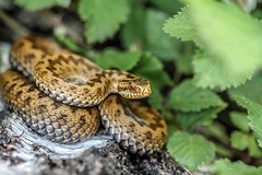 Female Adder (Rob Ward (Bothrops)) Tags: nature forest reptile snake wildlife viper adder venomous forestofdean basking famale viperaberus robinward
