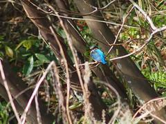 (Polotaro) Tags: bird nature pen olympus kingfisher  zuiko  4     2013   fzuiko300mmf45 epm2