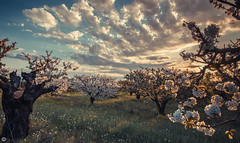 Whe (Pierre NATOLI) Tags: pink sunset tree field clouds canon cherry 50mm blossom 14 50mm14 7d provence 15mm cherrytree vaucluse cherryblossomtree carpentras mazan