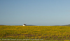 Lupins and Windmill 6734-2 (Paradise in Portugal) Tags: flowers windmill lupins