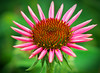 """ANS-Mr. Golden Sun (E.R.M .""""Give Peace a Chance"""") Tags: pink purple green yellow brown plant flora flower coneflower backyard dof bokeh semitry nature outdoor summer closeup macro young opening growing blooming organicpattern pattern bright background leaves petals platinumheartaward"""