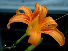 Tigerlily, aka Fire Lily (pilechko) Tags: orange flower color garden lily nj tigerlily lambertville selectivefocus