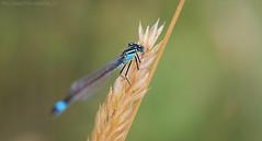A little blue (Ollie_57.. on/off) Tags: flora fauna insect nature bluetaileddamselfly ischnuraelegans wings dof bokeh macro tamronsp90mm canon 7d july 2016 summer blue hbm dawlishwarren devon england uk affinityphoto ollie57 ngc npc