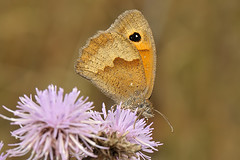 DSC_8877  Bruinzandoogje /  Meadow Brown (Gert_Paassen new followers, read my profile) Tags: butterfly thistle vlinder distel akkerdistel insect bloem flower nederland limburg niederlande netherlands maastricht nikon macro 105mm d300 natuur outdoor nature dof ngc npc platinumheartaward creepy bloeiend algemeen common