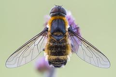 Villa sp. (Prajzner) Tags: beefly diptera bombyliidae insect insecta nature nikond7100 naturallight macro manfrottomt190xpro3 sigma105mmmacro sigma105macro velbonmagslider focusstacking dofstacking