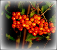 P1150183 Rowan berries (hartley_hare7491) Tags: rowan berries