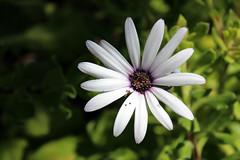 . (_tess_) Tags: tess flowers greece lefkada