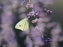 White Cabbage on Russian Sage (Doris Burfind) Tags: insects butterfly whitecabbage flower russiansage summer nature outdoor