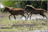 6417 - feral horses at Pt Calimere (chandrasekaran a 38 lakhs views Thanks to all) Tags: feralhorse mammals nature india chennai canon eos400d ptcalimere kodikkarai
