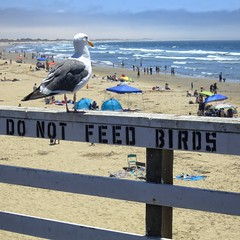 Well-Fed Gull (Viejito) Tags: pismobeach california slo county usa unitedstates geotagged geo:lat=35138268 geo:lon=120642917 amerika amrique amrica america canon powershot s100 canons100 waterfront beach playa praia sea pacific ocean pier pacificocean bird gull seagull beak feathers legs toes tail sand water waves froth people sunbathing umbrella booth meeuw gaviota goland mouette gaivota mwe  gabbiano