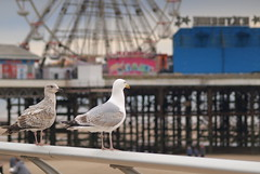 Pair of birds at Blackpool (Tony Worrall) Tags: blackpool resort place england english north northwest visit county town area northern location lancs lancashire uk fylde fyldecoast coastal tour ©2016 tony worrall country welovethenorth sea seaside shore holiday pier centralpier pair birds pairofbirds seagull gull flight wheel