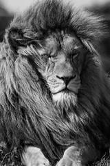 Lion sleeps tonight (::Random-Nonsense::) Tags: telephoto portrait fluffy fur bigcat animal nature bydavidhydephotography alpha sony sal70300g sonya700 yorkshirewildlifepark male sleep mane lion blackwhite bw