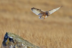 Short eared Owl. Hovering. (Ady G.) Tags: mull scotland canon 1d4 500f4 owl