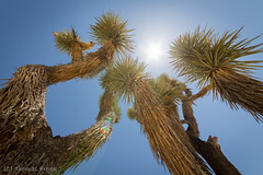 Joshua trees and the hot, hot desert sun (Thomas Frejek) Tags: 2016 california joshuatree joshuatreenationalpark josuapalmlilie kalifornien usa yuccabrevifolia us
