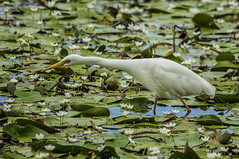 The Point Of The Matter (gecko47) Tags: bird waterbird wader heron white egret intermediateegret ardeaintermedia minnippiwetlands wading hunting waterplants brisbane floatinghearts