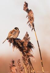 Sunlit Reed Bunting (steven waddingham) Tags: bird wild nature summer song british