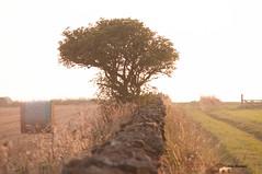 DSC_0453 (Fanta258) Tags: stonewall wall farm september uk yorkshire straw bales harvest sunset evening