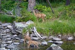 Mule deer (k1024 Bill & Sue both work too much!!) Tags: muledeer dayhike ewoog beautiful twins