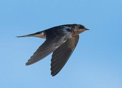 Barn Swallow (PeterBrannon) Tags: barnswallow bird flight florida hirundorustica nature pinellascounty swallowinflight tampa wildlife inflight