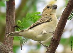 Tera-natureza (Pssaros) (sonia furtado) Tags: teranatureza natureza ave pssaro rn ne brasil brazil soniafurtado explore