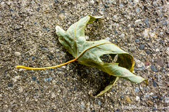 258366  15 September 2016  dry leaf on concrete (Doug Churchill) Tags: 365 366 sonyrx100m3 alone arid cement closeup closeups concrete dead death deaths dry foliage highangleview highangleviews highcontrast leaf leaflet loneliness lonely macro macromondays macros melancholy project project366 sad sadness