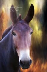 93/100 ~ Beast of Burden (Stephanie Calhoun Photography) Tags: mule beastofburden stephaniecalhoun jaitexture 100project b 93 equine crossbetweenadonkeyandahorse handsome amish