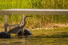 Waiting . . . . (Dr. Farnsworth) Tags: dock bird greatblueheron heron hunting fishing shadow cover westlake mi summer september2016 nationalgeographic worldwide