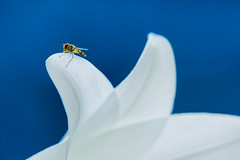 Hoverfly sits on lily (fredvr (Fred van Rooijen)) Tags: brachycera insect syrphidae blauw blue color colour fly hoverfly kleur lelie lily nature natuur plant vlieg white wit zweefvlieg