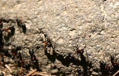 Working ants (Majorimi) Tags: canon eos 70d digital color colorful nice hungary bug ant nature rock forest spring work
