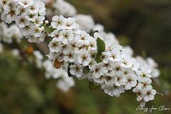 Spiraea prunifolia var. pseudoprunifolia (Chen Blair) Tags: spiraea rosaceae 薔薇科 繡線菊屬