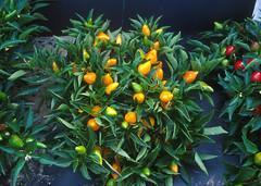k9299-2 (USDAgov) Tags: plant pepper unitedstates research ars usda orangepepper