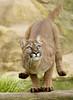 Safe Landing ...Puma.. (lollipoplollipop@home) Tags: flickrbigcats