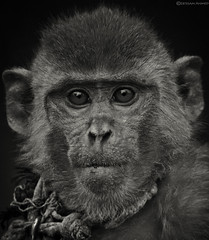Monkey portrait (Ebtesam Ahmed) Tags: portrait white black closeup monkey wildlife