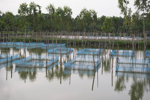 Tilapia Hatchery in Noakhali, Bangladesh. Photo by Finn Thilsted, 2012.