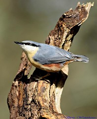 Nuthatch.(EXPLORED) (spw6156) Tags: copyright lens steve  iso nuthatch f28 1000 waterhouse 2x explored d800300mm convertercropped
