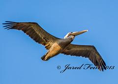 Flying Pelican (SewerDoc (3 million views)) Tags: bird nature animal closeup flying wings whitehouse carribean pelican jamaica naturesfinest supershot sewerdoc ©jaredfein naturesharmony mygearandme