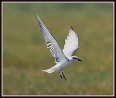 Whiskered Tern (AntoGros) Tags: bird nature birds wildlife birding flight tern bif birdinflight hybrida chlidonias whiskeredtern whiskered chlidoniashybrida birdsofindia indianbirds