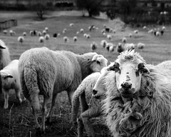 attentive sheep (enki22) Tags: urban white black nature sheep enki22