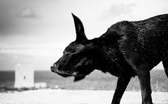 Fresh (Gremxul) Tags: light blackandwhite bw dog water contrast movement nikon labrador highcontrast malta shades shake nikkor bosco chocolatelabrador d600 blackwhitephotos nikond600 nikkor2485mm gremxul
