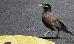 Haters Gonna Hate (Astronomr) Tags: newzealand urban birds canon walking wildlife attitude albany carpark haters mynah 60d