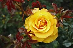 Pétalos de sol (Daniela Alejandra G) Tags: naturaleza flower rose yellow canon eos flora colombia bogota flor rosa amarillo jardínbotánicojosécelestinomutis eos400d canoneos400d