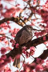 Red Plum Blossoms (홍매화) (insung jeon) Tags: korea 통도사 18200mm tongdosatemple 양산 redplumblossoms 홍매화 nx20